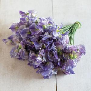 Szagos bükköny – Lathyrus odoratus – Spencer Blue ripple – 10 szem