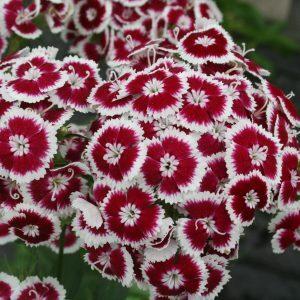 Törökszegfű – Flora pearl – késői – piros-fehér – 20 szem