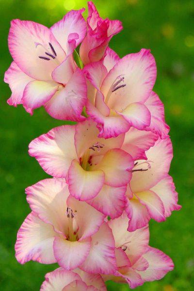 kardvirag-Gladiolus-priscilla-1